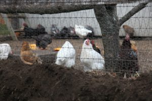 The cutting garden is located adjacent to the chicken coop and they seemed to enjoy the company.