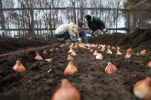 Down in the cutting garden, Shaun and his crew are planting tulips.