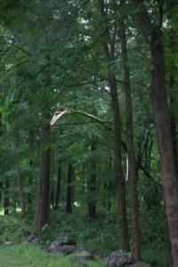 Another split tree.