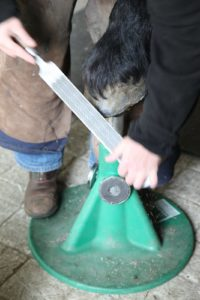 Linda works one hoof at a time.  The hoof is propped up on a hoof stand, where Linda smooths the front with a file.