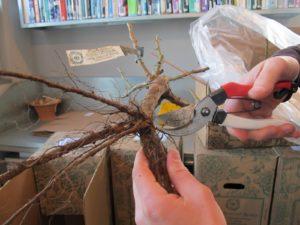 Shaun trimmed off broken roots.