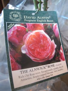 These particular roses are The Allnwick Rose, having a rich old rose scent.  I can't wait to see these blooms!