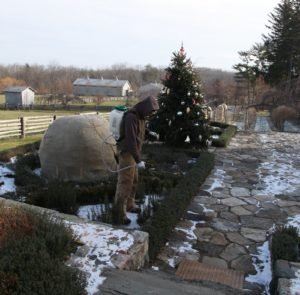 Shaun is spraying all of the evergreens with an anti-dessicant called Wilt-Pruf.