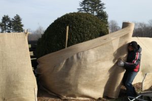 Purba unrolling a bolt of burlap - This large boxwood will soon be completely covered.