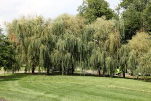 My beautiful weeping willows were also damaged in the storm.