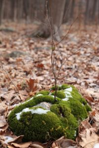 A moss-covered rock with a layer of snow - The moss provided a happy home for a tree seed to grow - so Zen!