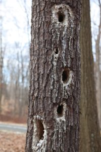 This tree is a favorite eating spot for some woodpecker.