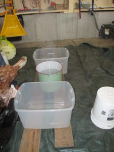 Because it was so cold outside, Pierre set up an area in the equipment barn where he removed the feathers.