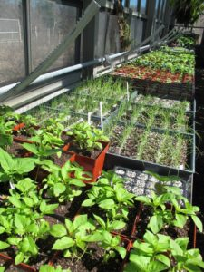 Inside the greenhouse, many vegetable seeds have been started.