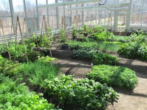 Inside the cold house, we've had beautiful lettuces and vegetables growing all winter long.