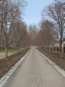 This is the allee of linden where we planted 116,000 spring flowering bulbs, a mix of nine different kinds of blue flowers.