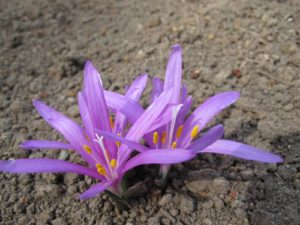 Colchicum usually blooms in the autumn, but this variety blooms in the spring.