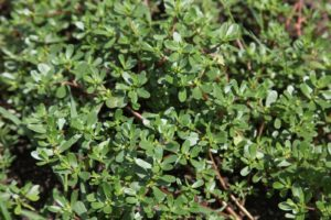 Purslane has a mild, sweet-sour flavor and a chewy texture and is delicious in salads.