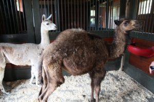 Coco, a 3-month-old camel, shares a living space with Angel, a young llama.