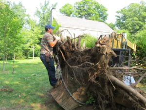 Once the majority of the tree was sawed and taken away, the grounds crew worked to remove the massive trunk.