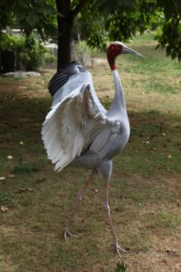 This is a Sarus Crane - the largest of all cranes.  These non-migratory birds are found in parts of the Indian Subcontinent, Southeast Asia, and Australia.
