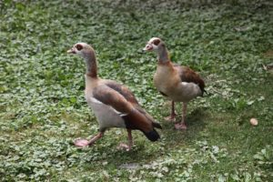 These are Egyptian geese.  They are very pugnacious and aggressive, especially during breeding season. They are intolerant of other birds and are among the most vicious of all waterfowl.
