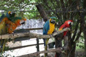 Right near the porcupine pen is an aviary containing these beautiful and colorful macaws.