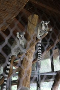 These are ring-tailed lemurs with mother on the left and her two month old baby.