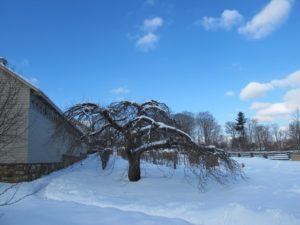 One of the original apple trees on the property against a rapidly clearing azure sky