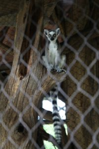 Of the 50 species of lemurs, 17 are on the endangered species list.  Habitat loss is the main threat to lemurs, as people clear their native forests for farm land.