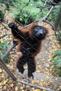 This lemur is a Red Ruffed.  Lemurs usually have a vegetarian diet, consisting of leaves and fruit, although they will occassionally eat insects or smaller animals.