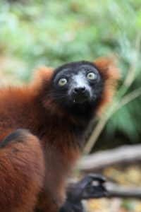 With their long noses, lemurs have an excellent sense of smell, which they rely heavily upon.