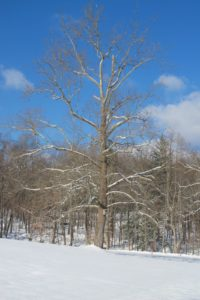 My iconic sycamore tree - the symbol of the farm
