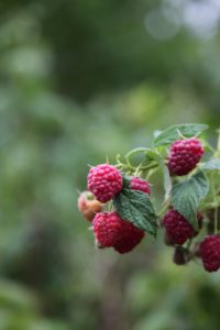 Beautifully fragrant and sweet raspberries - I ate a generous handful.