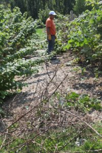 Gyurme is pruning out all the dead wood from the raspberries.
