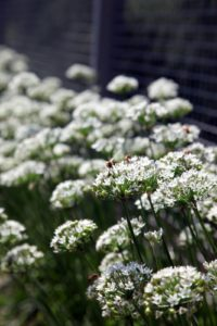 The garlic chives are blooming profusely around the vegetable garden and the honeybees are really drawn to the flowers.
