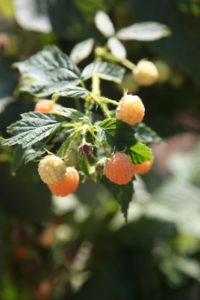 The raspberries are having a very long season.  These golden raspberries are so sweet.  Raspberries produce an early-summer crop on the previous season's growth and a fall crop on the current season's growth.