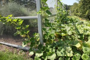 This year, Shaun and I decided to allow pumpkins to grow outside the vegetable garden and climb up the fence for support.