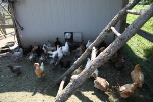 The smart hens are staying cool in the shade.