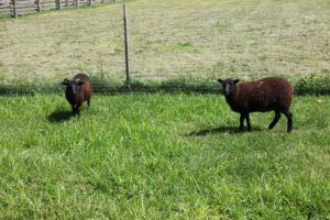 Their fleece is highly desirable for making quality fibers for knitting and weaving.  The fleece is a dark black or reddish black called cuchddu.
