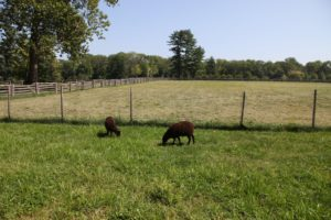 My pair of Black Welsh Mountain Sheep love their larger pen and the rich green grass.