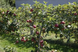 I know that I've mentioned how amazing the apple yield is this year, but I'm just so excited about it.  This laden espalier is a Cortland apple variety.