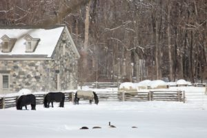 The horses were out enjoying the snow along with some Canada geese.