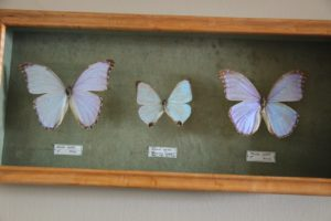 Another collection of iridescent Morpho butterflies