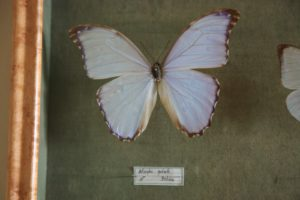 Morpho goderti are found in Peru and Bolivia