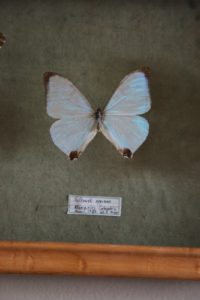 Sulkowski oppiana, or Pearl Morpho, from Colombia - it changes color depending on the angle it's viewed.