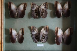 A collection of Caligo Memnon, commonly called Owl butterflies, after their huge eye spots, which resemble owls' eyes.