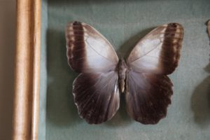 The top of the Owl butterfly's wings are rather plain in comparison to its bottoms, which....
