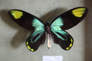 This is a Queen Victoria's Birdwing, Ornithoptera victoriae, a butterfly found in the Solomon Islands in Papua New Guinea.