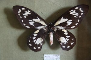 Another type of Queen Victoria's Birdwing butterfly from the Solomon Islands