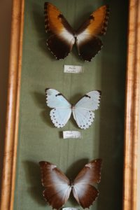 Three neutral-toned morpho butterflies