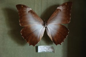 A Morpho Telemachus from South America