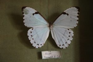 This angelic-looking butterfly is the White Morpho from South America.