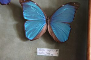 The melaneus Blue Morpho (Morpho melaneus) is an iridescent tropical butterfly of Central and South America.