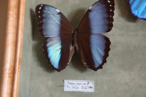 This is a Morpho papirius from Peru.